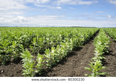 Rows of beautiful green broad or fava bean in bloom, a cultivated field  making a great agriculture background.