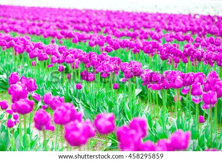 Rows of beautiful purple tulips flowers in a large field - stock photo