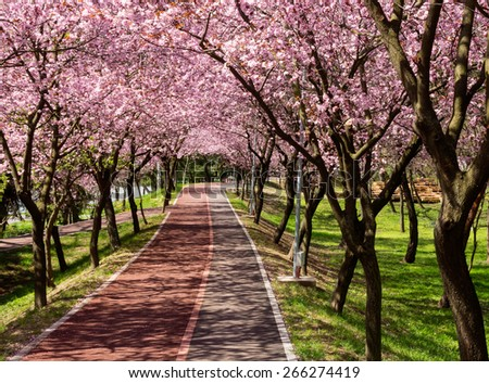 Rows of beautifully blossoming cherry trees on a river pathway - stock photo