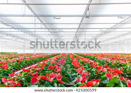 Rows of blooming anthurium plants in a greenhouse - stock photo