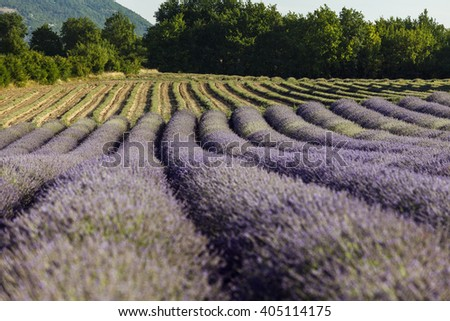 Rows of blooming lavander near Sault, Vaucluse, Provence, France - stock photo