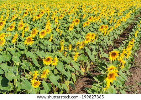 Rows of blooming sunflowers on the field on a sunny summer morning - stock photo