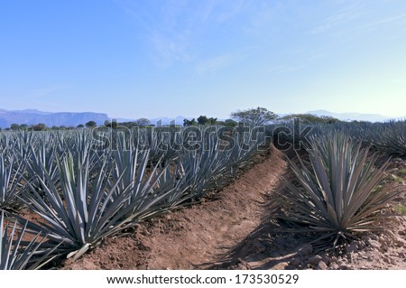 Rows of blue agave plants in tequila production field outside Tequila Mexico