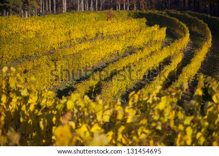 Rows of bright, golden grapevines in autumnal vineyard - stock photo