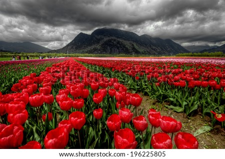 Rows of bright ruby red tulips with dark mountains and ominous clouds - stock photo