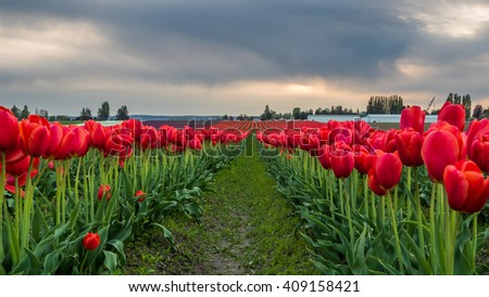 Rows of bright tulips in a field. Beautiful tulips in the spring. Variety of spring flowers blooming on fields. - stock photo