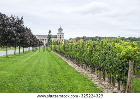 Rows of Cabernet Vines and  Grapes in an Estate Winery - stock photo