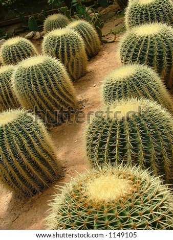 Rows of cacti
