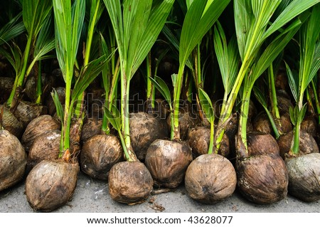 Rows of coconut seedlings ready for planting - stock photo