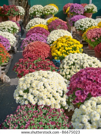 Rows of colorful flowering mum plants for sale at a farm market in autumn in the country. - stock photo