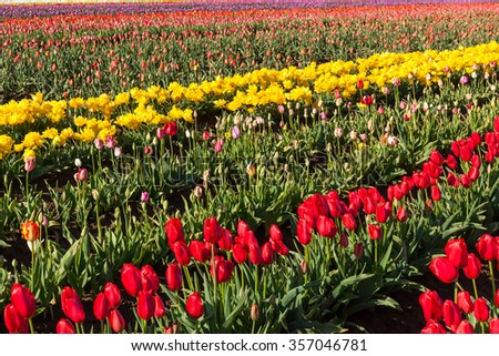 Rows of colorful tulips on a farm in springtime in Oregon.