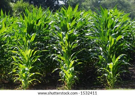 Rows of Corn - stock photo