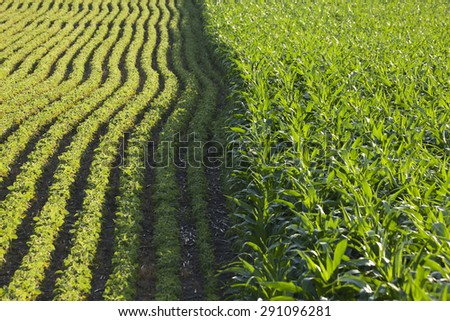 Rows of corn and soybeans next to each other in a sunlit field on a summer day