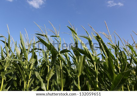 Rows of Corn Crop Close Up