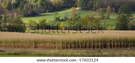 Rows of corn growing in a meadow with green hills in the background. Horizontal shot. - stock photo