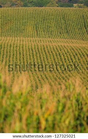 rows of corn on a farm - stock photo