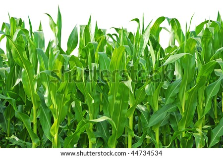 Rows of Corn Stalks Growing on a Farm. Isolated against white background.