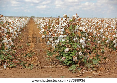 Rows of Cotton Crops on Farm in Texas - stock photo