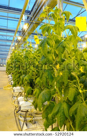 Rows of cucumber in the greenhouse in the evening - stock photo
