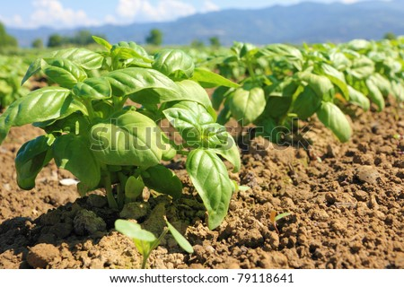 rows of cultivated basil in Liguria Italy - stock photo