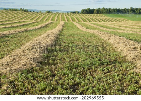Rows of cut alfalfa cure in a hay field.