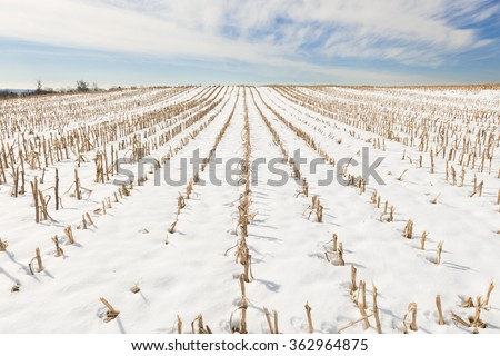 Rows of Cut Corn Field in Winter - stock photo