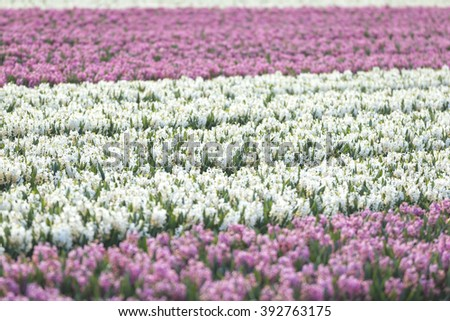 Rows of Dutch white and pink Hyacinth flowers in a flower field in the Netherlands blooming in sunlight - stock photo