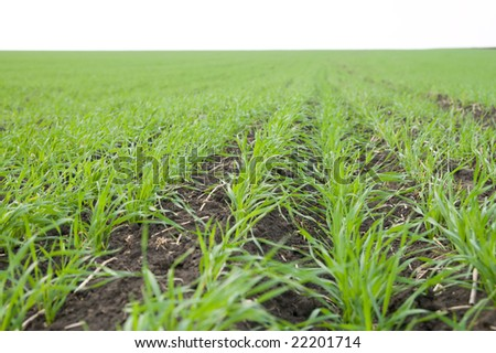 rows of fall wheat