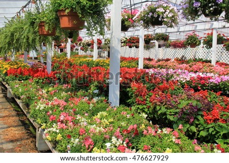 Rows of flats filled with colorful flowers ready for planting and hanging plants at local nursery.