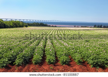 Rows of flowering potato plants in a potato field with the Confederation Bridge in the distant background. - stock photo
