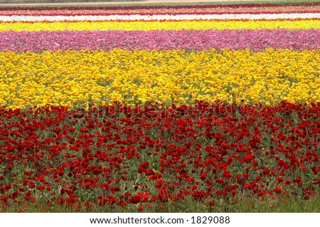 Rows of flowers at the Carlsbad flower fields - stock photo