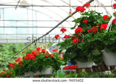 Rows of flowers for sale in a greenhouse - stock photo