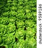 rows of fresh green lettuce - stock photo