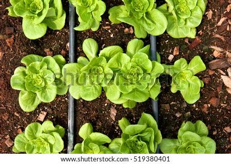 Rows Fresh Lettuce Farm Closeup Plant Stock Photo 519380401