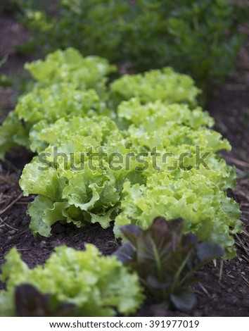Rows of fresh lettuce leaves on a garden. - stock photo