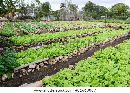 Rows of fresh lettuce plants in the countryside of Giron on Cuba