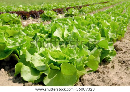 Rows of fresh lettuce plants in the countryside on a sunny day - stock photo