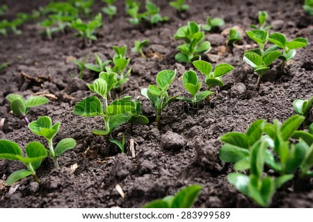 Rows of fresh organic soy plants in spring - stock photo