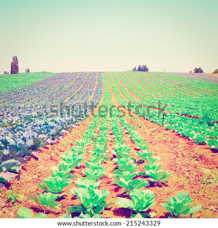 Rows of Fresh Young Green Cabbage in Israel, Instagram Effect   . - stock photo