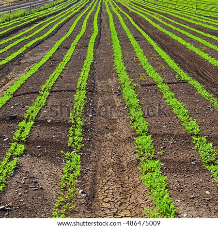 Rows of Fresh Young Green Seedling of Carrots in Israel