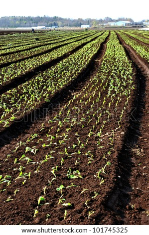 Rows of freshly planted vegetables in rich fertile soil - stock photo