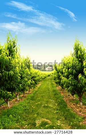 Rows of fruit trees in a spring orchard