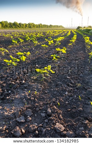 Rows of germinating sunflower against a black ground and smoking chimneys - stock photo