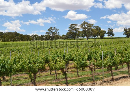 Rows of grape vines at a winery in the Adelaide Hills, South Australia.