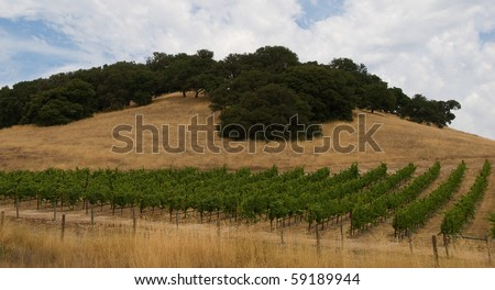 Rows of Grape Vines at Base of Knoll in Sonoma Valley, CA