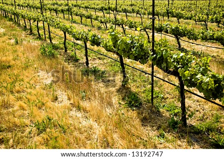 Rows of grape vines in a California vineyard - stock photo