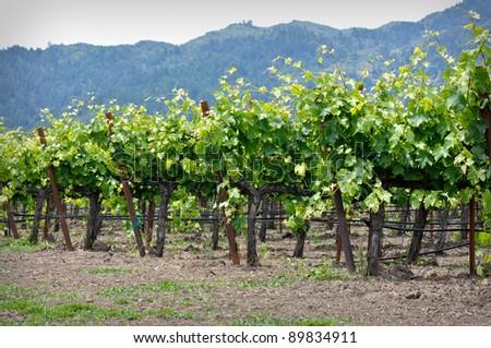 Rows of Grape Vines in Napa Valley California - stock photo