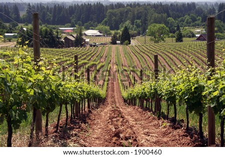 Rows of grape vines in the summer - stock photo