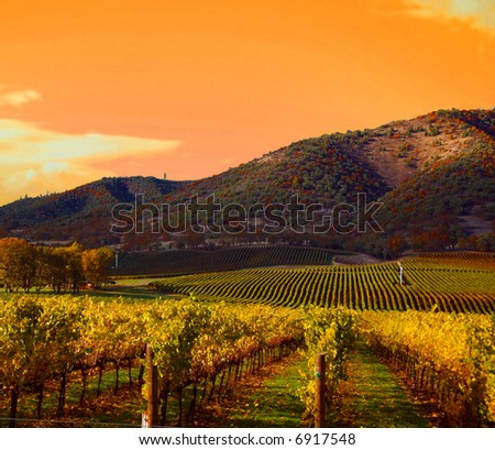 Rows of Grape Vines in Vineyard at Sunset - stock photo