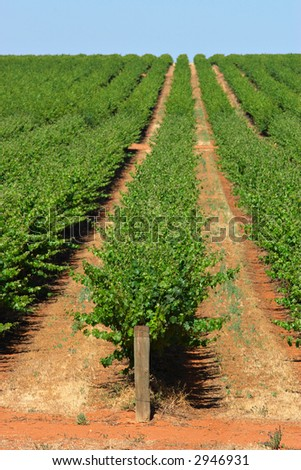 rows of grape vines reaching out past the horizon